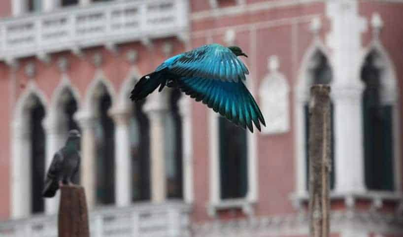 pigeon 07