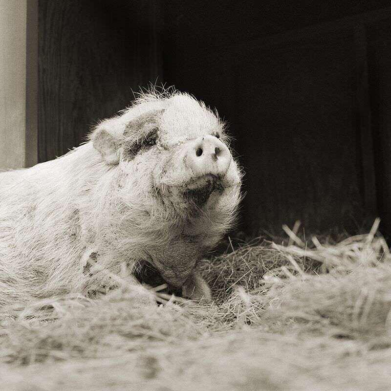 violet potbellied pig 12 elderly animals isa leshko