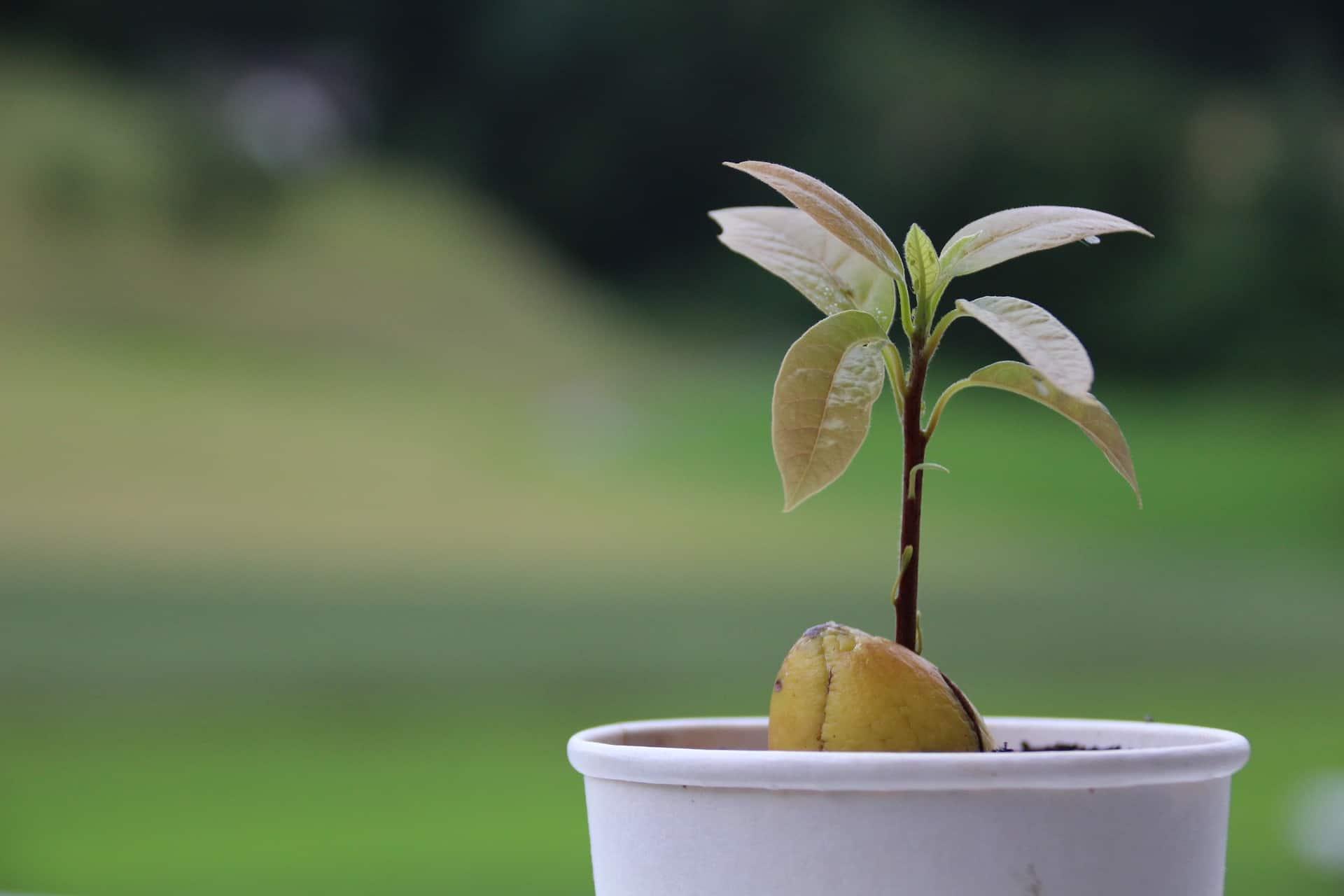 maak je eigen avocadoplant